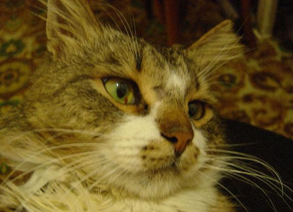 У кота в глазу красное пятно что